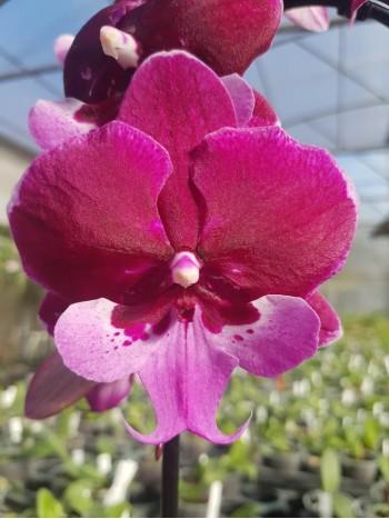 Орхидея Фаленопсис  - PR3755