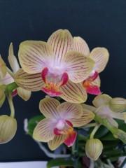 Орхидея Фаленопсис  - PR5233