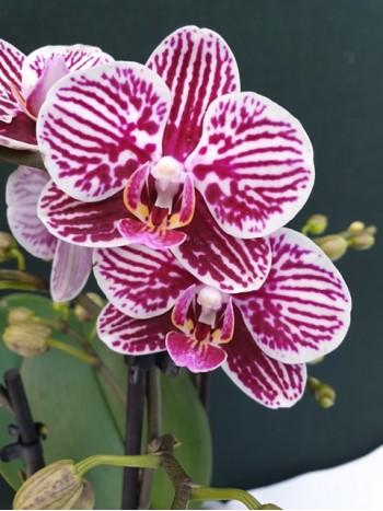 Орхидея Фаленопсис  - PR5237