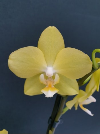 Орхидея Фаленопсис  - PR5236