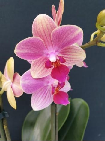 Орхидея Фаленопсис  - PR5238