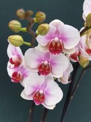 Орхидея Фаленопсис  - PR5235