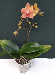 Орхидея Фаленопсис  - PR5239
