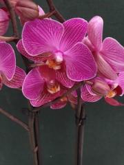 Орхидея Фаленопсис  - PR5234