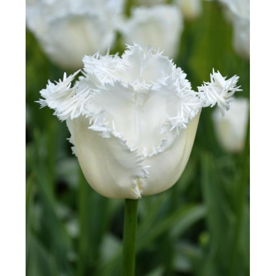 Лале  (Tulipa ' Daytona') T164