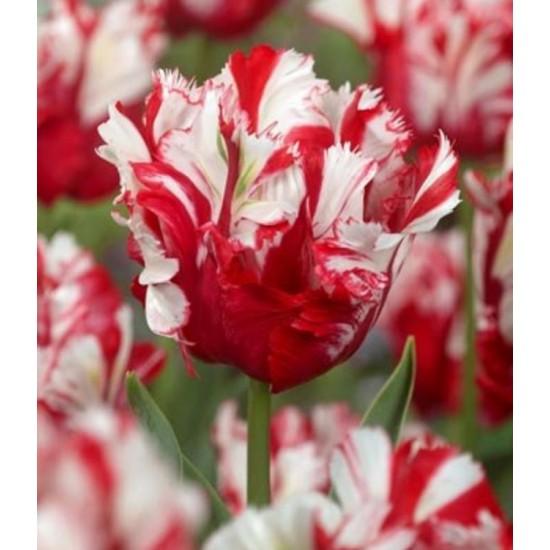Лале (Tulipa ' Apricot parrot') T190