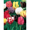 Лале (Tulipa 'Parrot Mixed') T27