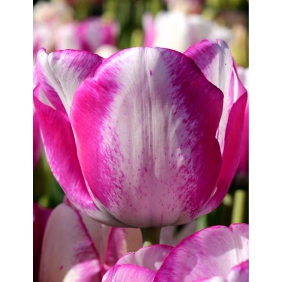 Лале (Tulipa Hotpants)  T4