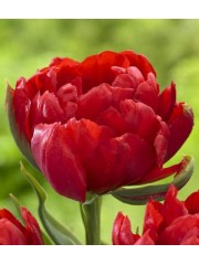 Лале (Tulipa 'Abba dream') T9