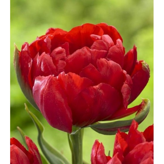 Лале (Tulipa Abba dream) T9