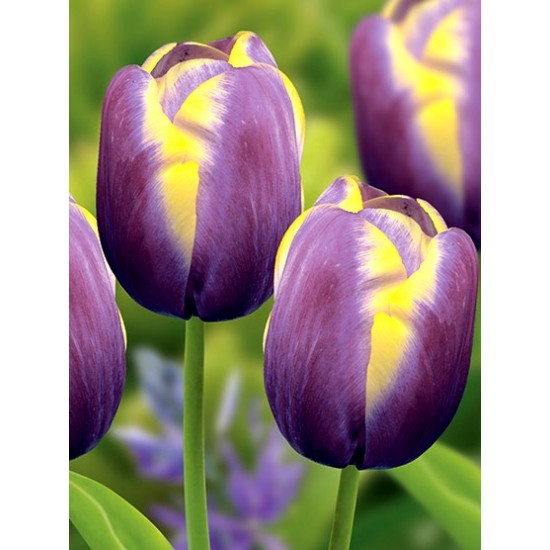 Лале (Tulipa 'Arabian Beauty') T18