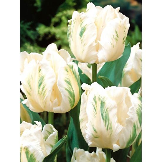 Лале (Tulipa White Parrot) T10