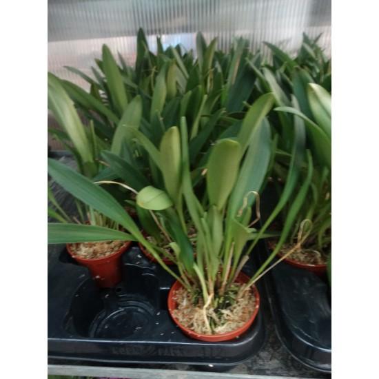 Oрхидея Масдевалия  (Мasdevallia) - оранжева