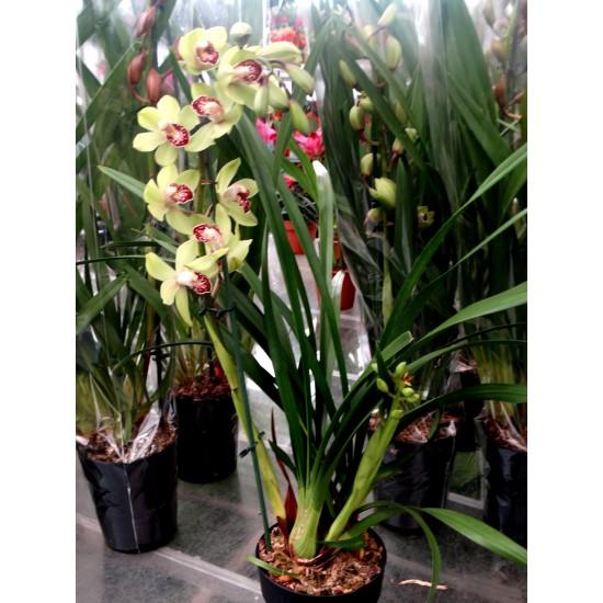 Орхидея Цимбидиум - Зелен