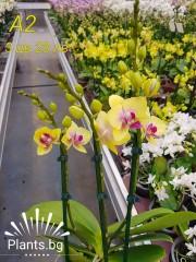 Орхидея Фаленопсис  А2
