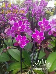 Орхидея Фаленопсис  А4