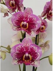 Орхидея Фаленопсис  PR4004