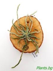 Орхидея Chiloschista viridiflava