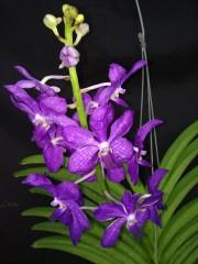 Орхидея Vasco. Prapawan