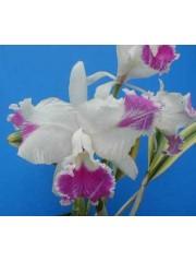 Орхидея Катлея (C. Moscombe (variegata))