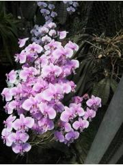 Орхидея Фаленопсис  (Phal. schilleriana × sib )