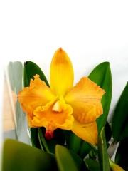 Орхидея Катлея - Голям размер
