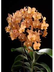 Орхидея Фаленопсис  (Ascps. Irene Dobkin 'Elmhurst' HCC/AOS)
