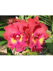 Орхидея  Rlc. Tainan City x Lc. PaiLueng-Waiane Sunset