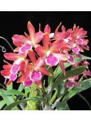 Орхидея  Епикатлея(Epicattleya Jairak Kyogu)