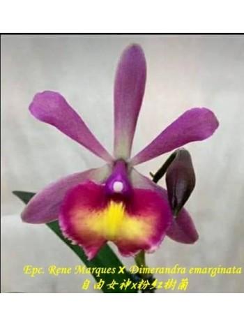 Орхидея Епикатлея (Epc. Rene Marques × Dimerandra emarginata )