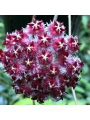 Хоя (Hoya sp. ut 043)