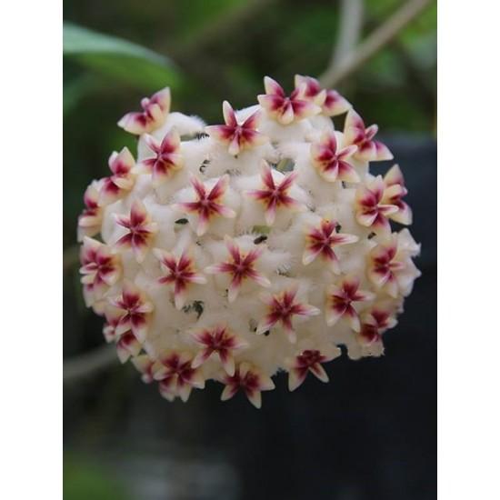 Хоя (Hoya erythrostemma banglane) - резник