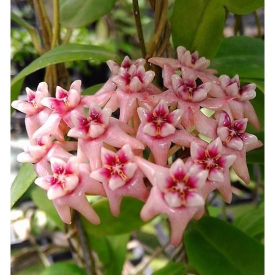 Хоя (Hoya darwinii,pink)