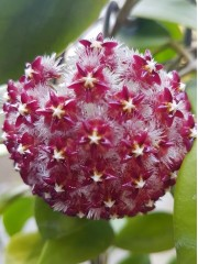 Хоя (Hoya mindorensis,red)