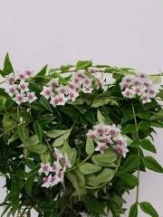 Хоя (Hoya bella) - резник