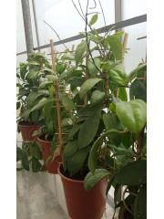 Хоя (Hoya Imperialis) - резник