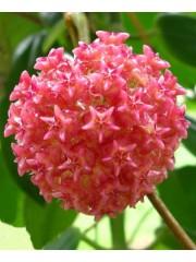 Хоя (Hoya mindorensis 'Pink' )