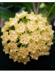 Хоя (Hoya mindorensis sweet yellow )