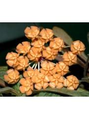 Хоя (Hoya sigillatis)