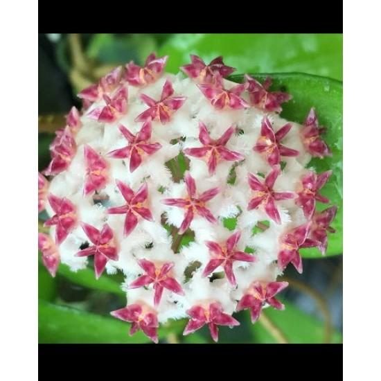 Хоя (Hoya erythrostemma)
