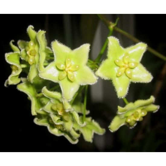 Хоя (Hoya chlorantha)
