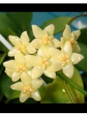 Хоя (Hoya diptera) - резник