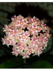 Хоя (Hoya sp. ut 163)