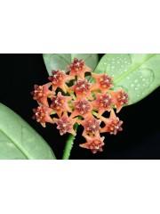 Хоя (Hoya lobbii, orange)
