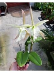 Орхидея Epicattleya ciliare × B.digbyana