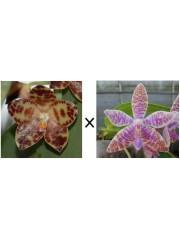 Орхидея Фаленопсис (Phal. gigantea × Phal. luddemaniana)