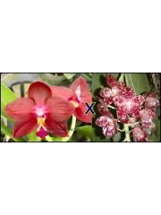 Орхидея Фаленопсис (Phal. LD's Bear King × Pahl. gigantea)