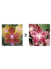 Орхидея Фаленопсис (Phal. Lyndon Golden Age × Phal. gigantea)