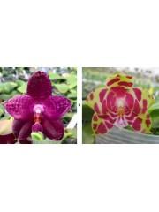 Орхидея Фаленопсис (Phal. Mok Choui Yew × Phal. Yaphon Sir )