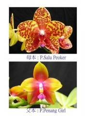 Орхидея Фаленопсис  (Phal. Salu Peoker × Phal. Penang Girl)